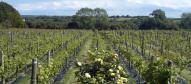 glndwr vineyard