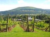 the-sugarloaf-vineyard