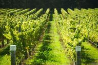 vineyard-fields-france