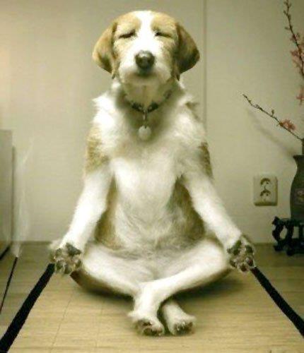 51d7f800ab6afc75f426b565319a9469--yoga-dog-dog-doing-yoga
