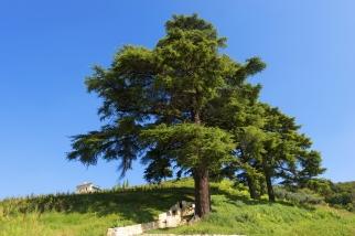 lebanon-cedar
