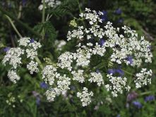 cow_parsley_6358