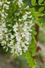 acacia-flower-fritters