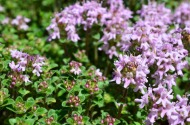 Macro shot of Wild Thyme (Thymus vulgaris Lamiaceae ) leaves, burgeons and flowers